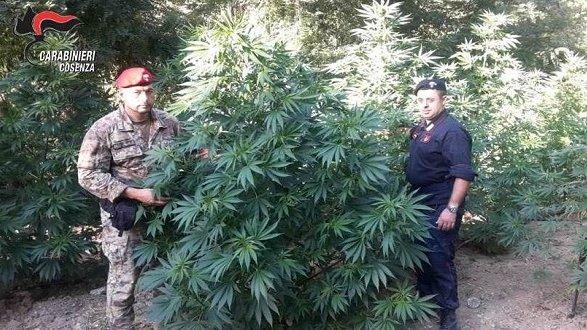Coltivazioni di sostanze stupefacenti: due arresti in due giorni