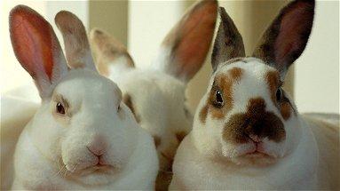La storia di sei coniglietti rubati e ritrovati dai carabinieri