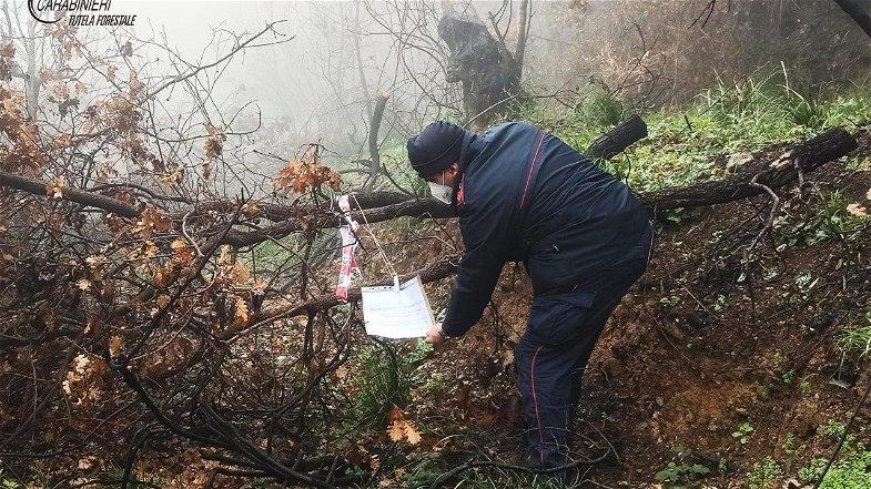 Furto di alberi, i Carabinieri Forestale identificano e denunciano l'autore