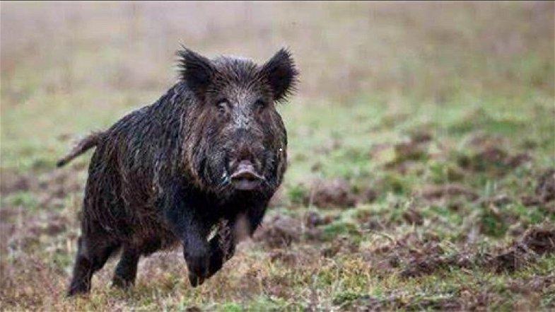 Problema cinghiali, Molinaro (Lega): «Consentire la caccia con il metodo della girata»