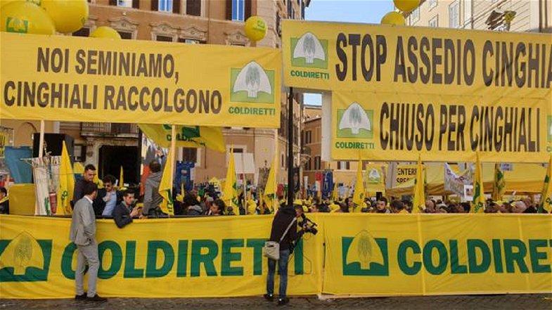 Coldiretti Calabria: «I cinghiali sono una calamità. Gli agricoltori seminano e loro distruggono»