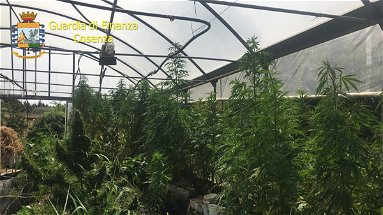 Sequestro di oltre 800 kg di marijuana e di un impianto di produzione illegale: arrestato il responsabile