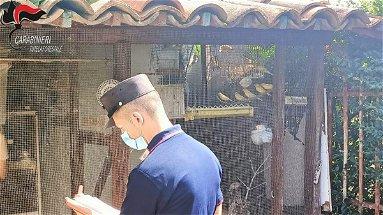 Deteneva illegalmente in gabbia diversi uccelli di specie protetta: denunciato