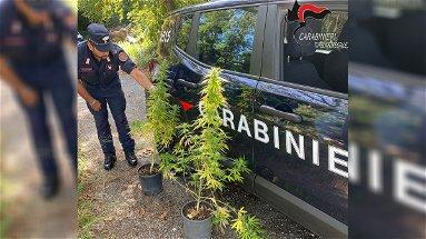 Coltiva cannabis in un vecchio rudere: denunciato