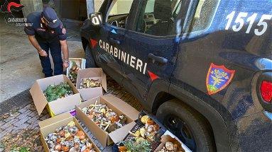 Sequestrati oltre 70 kg di funghi epigei, numerose sanzioni nel cosentino